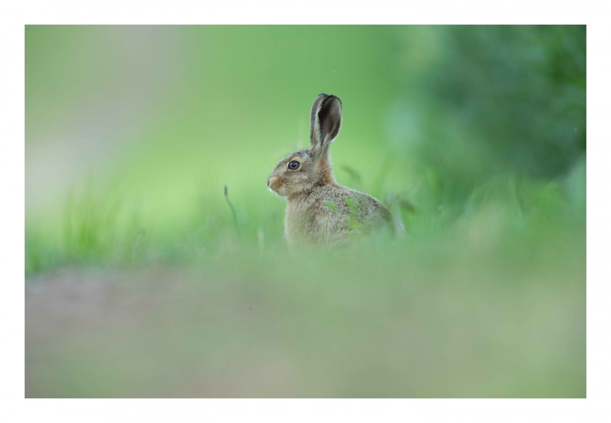 Brown hare in the grass