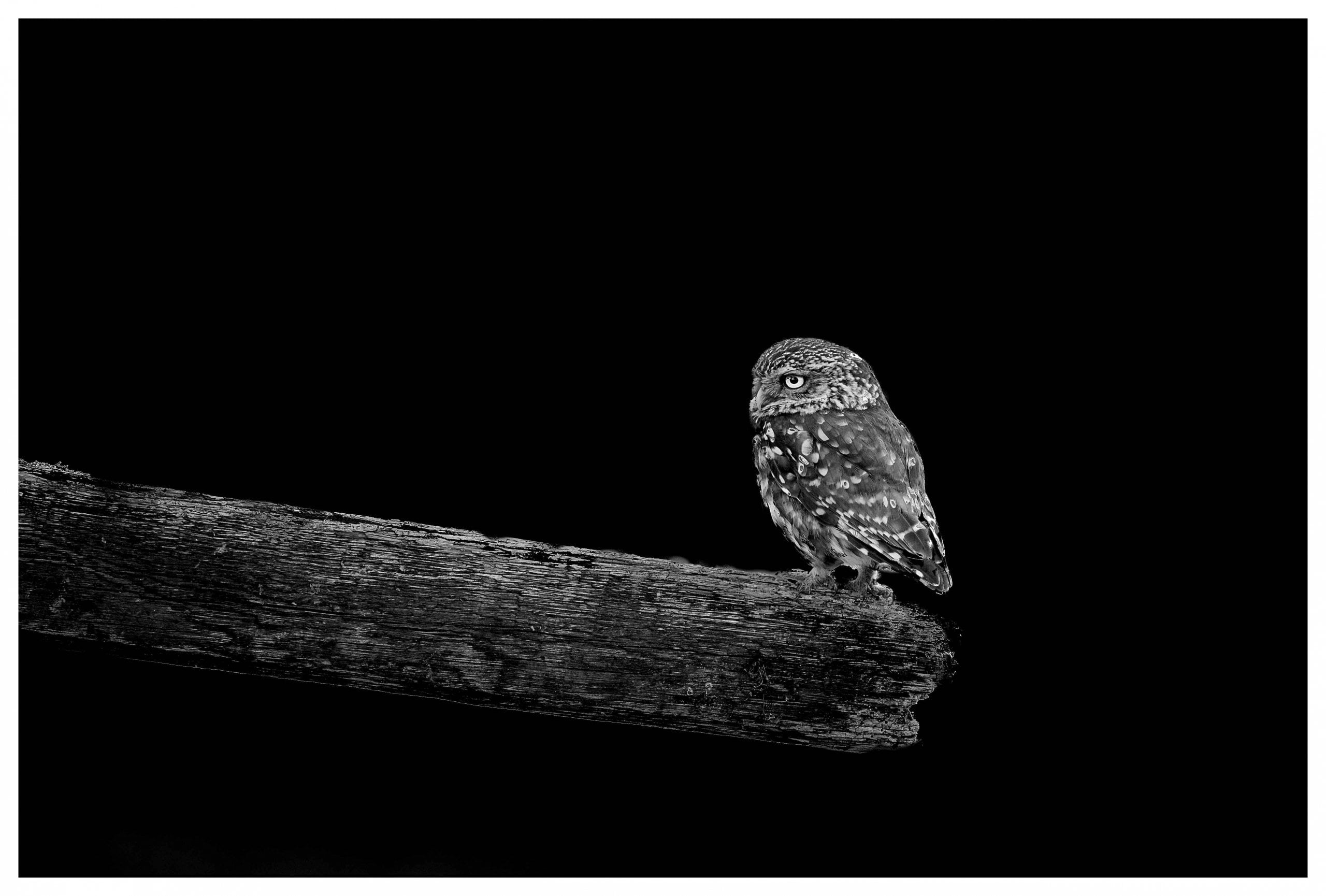 little owl on black