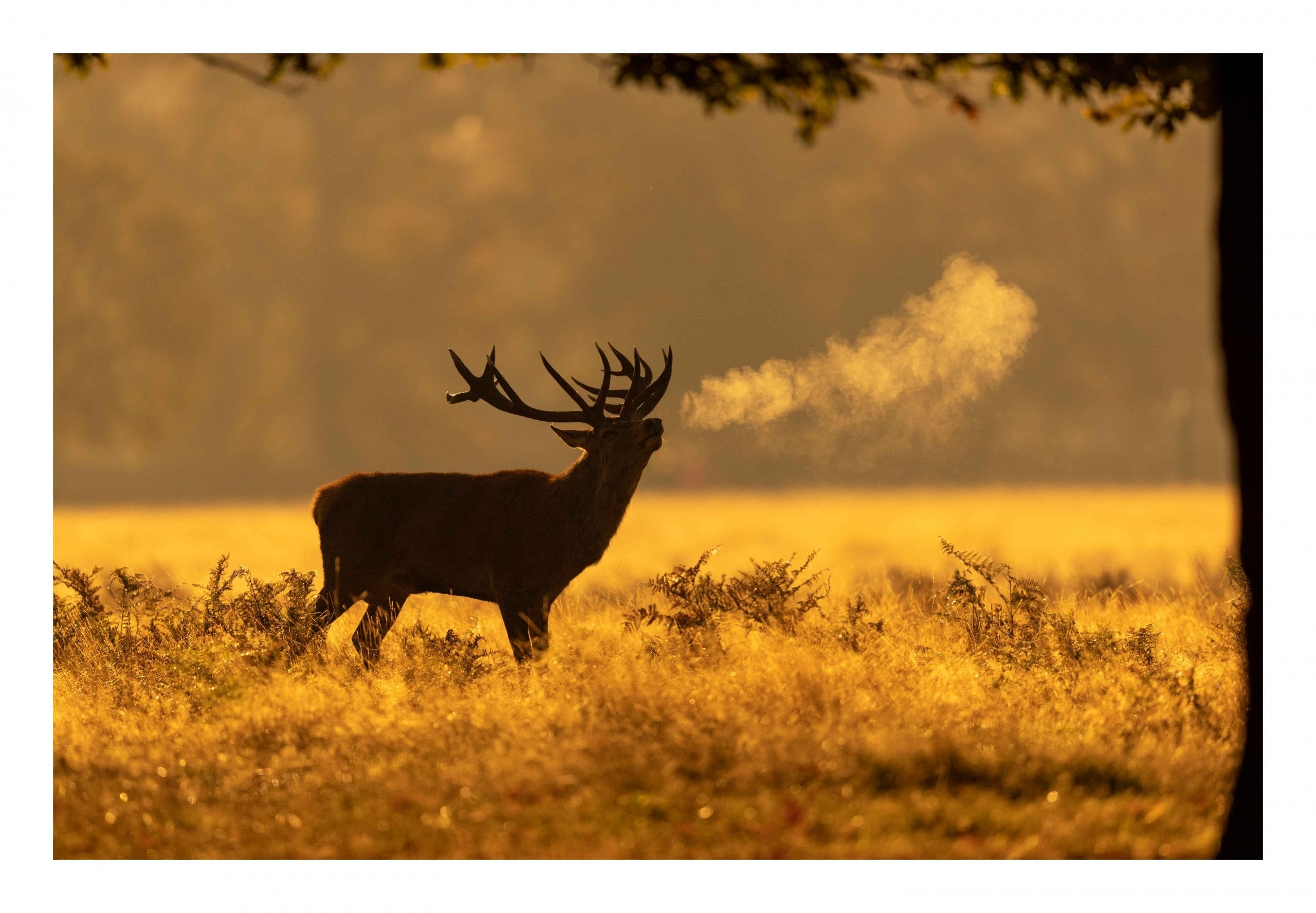 Red deer sunrise breath