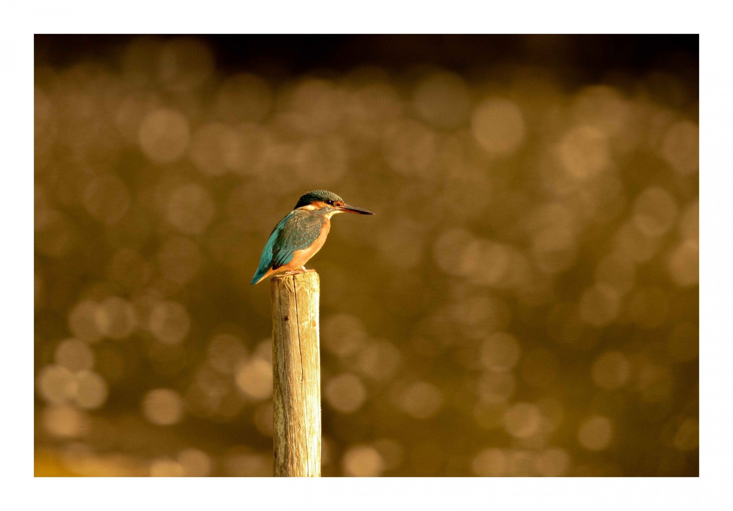 Kingfisher bokeh