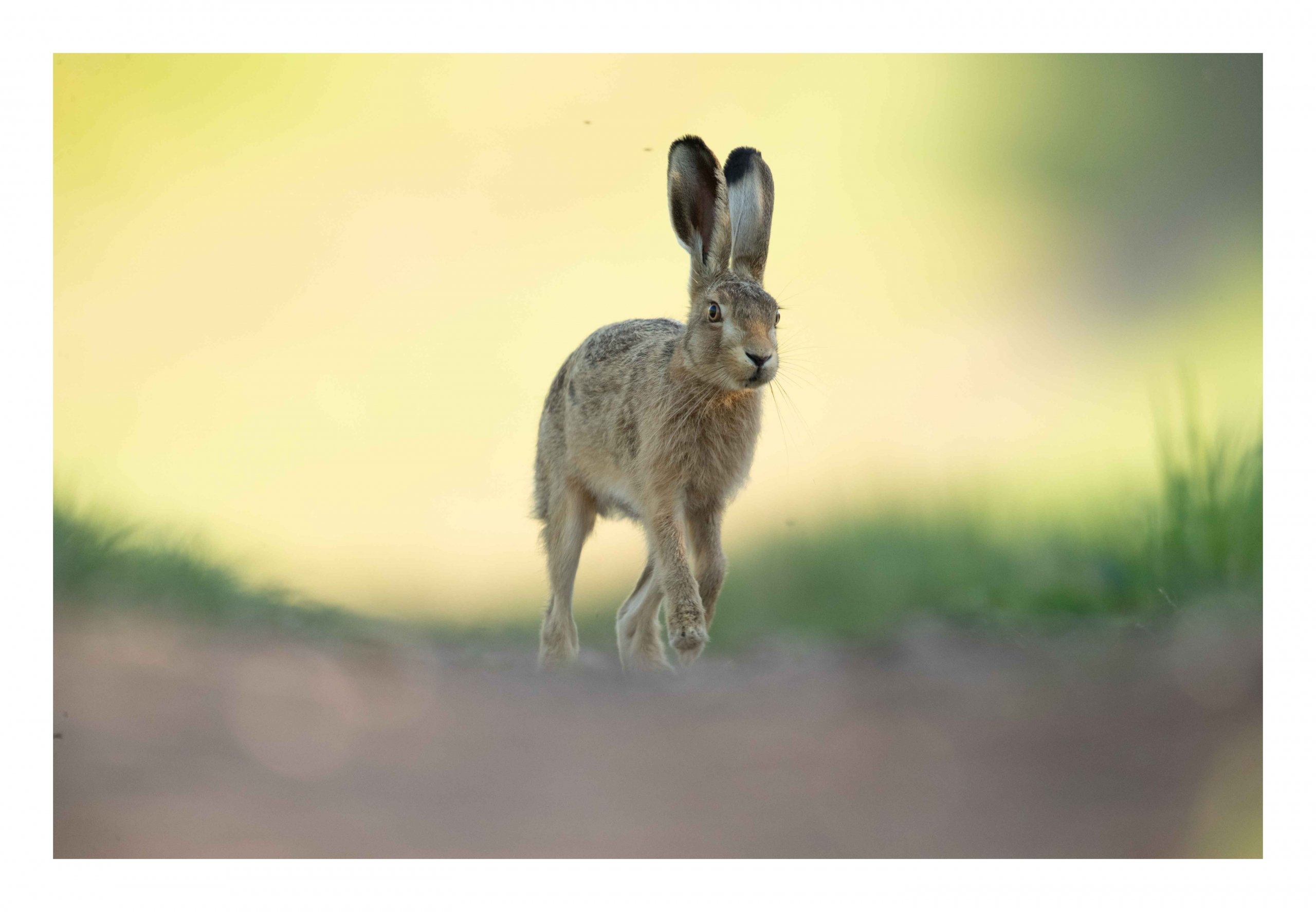 Brown hare leveret