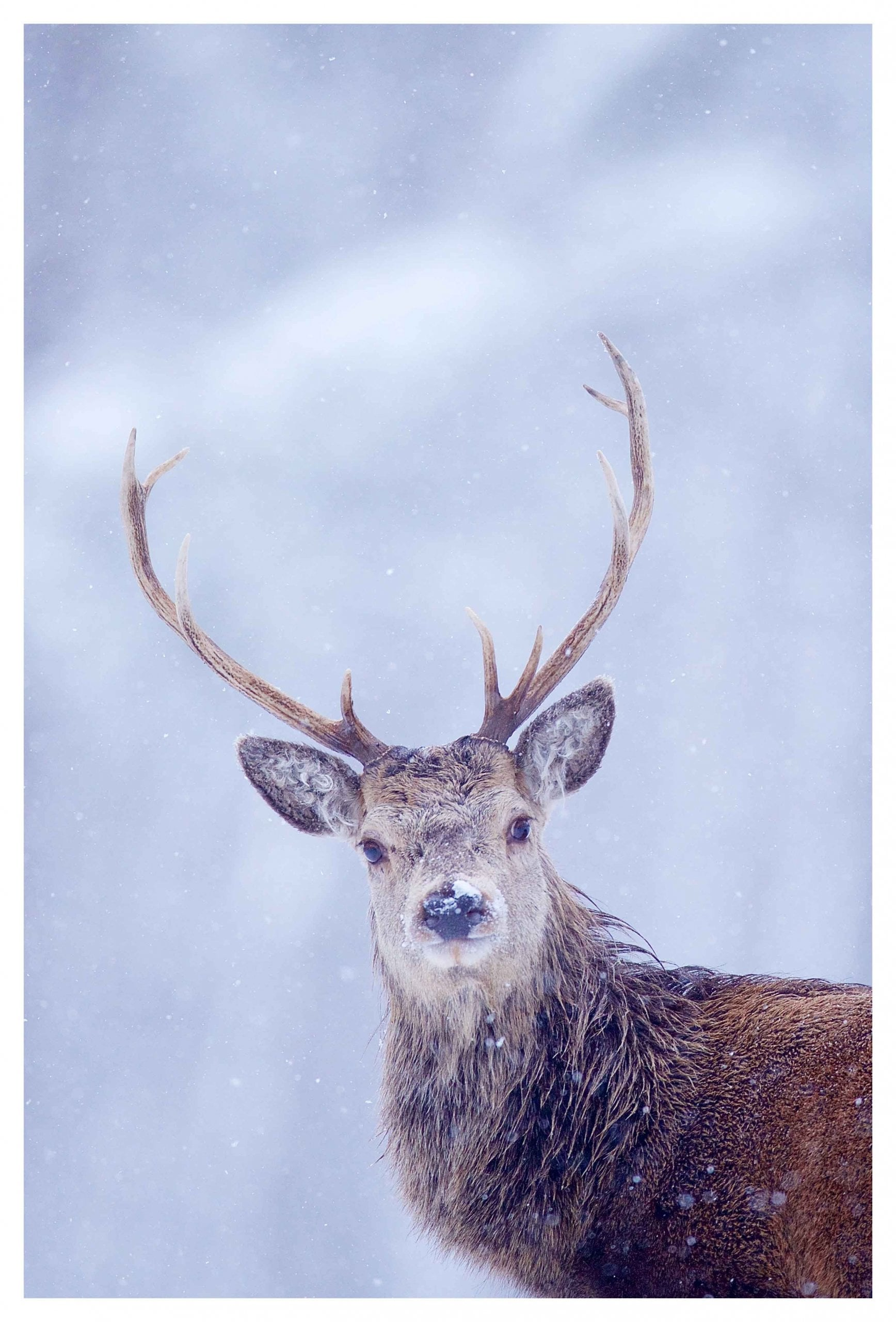Red Deer portrait on snow