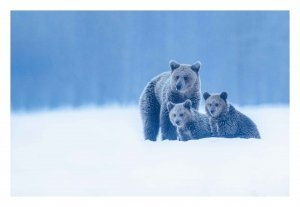 Bear family in the snow