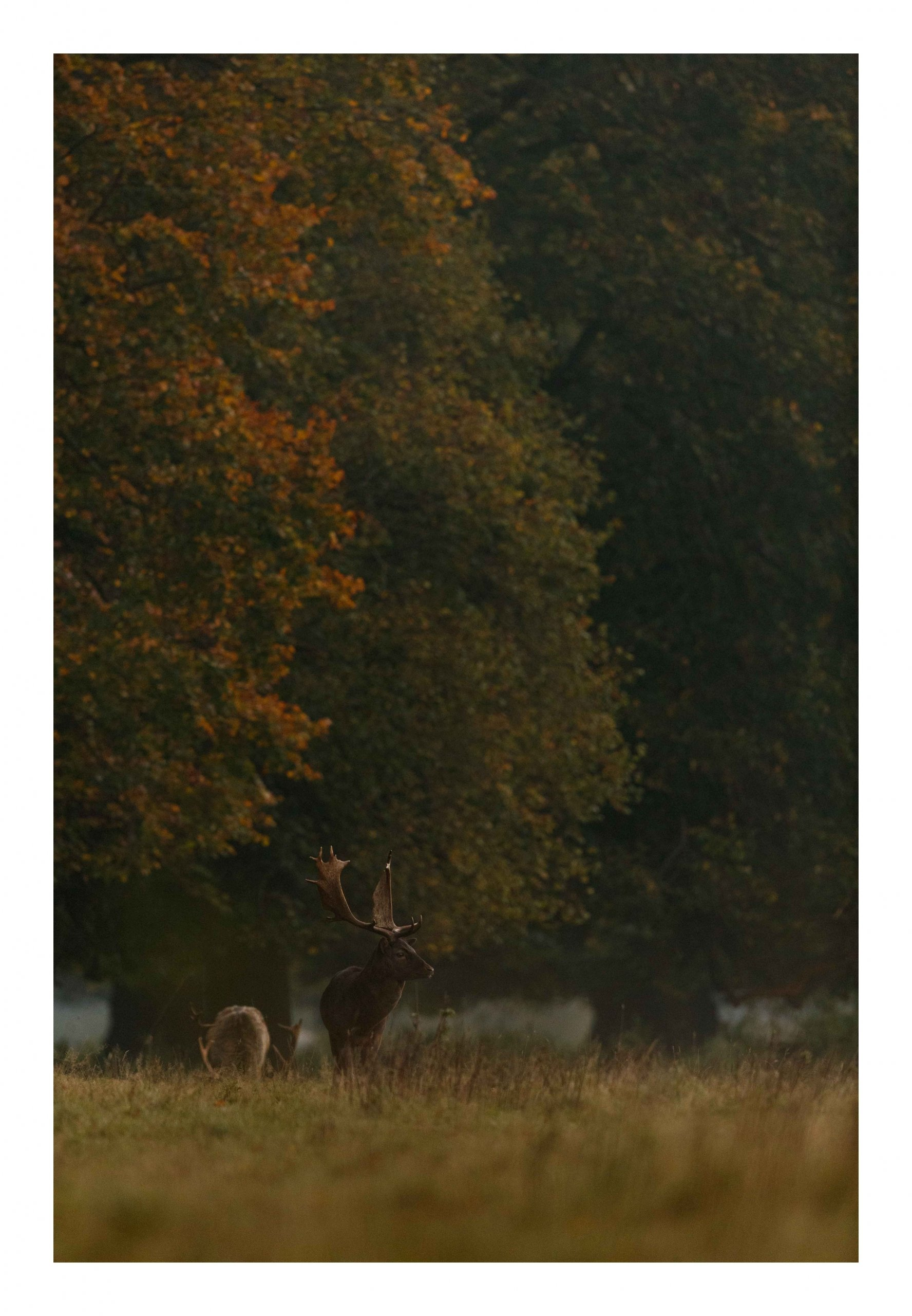 Fallow deer autumn colours