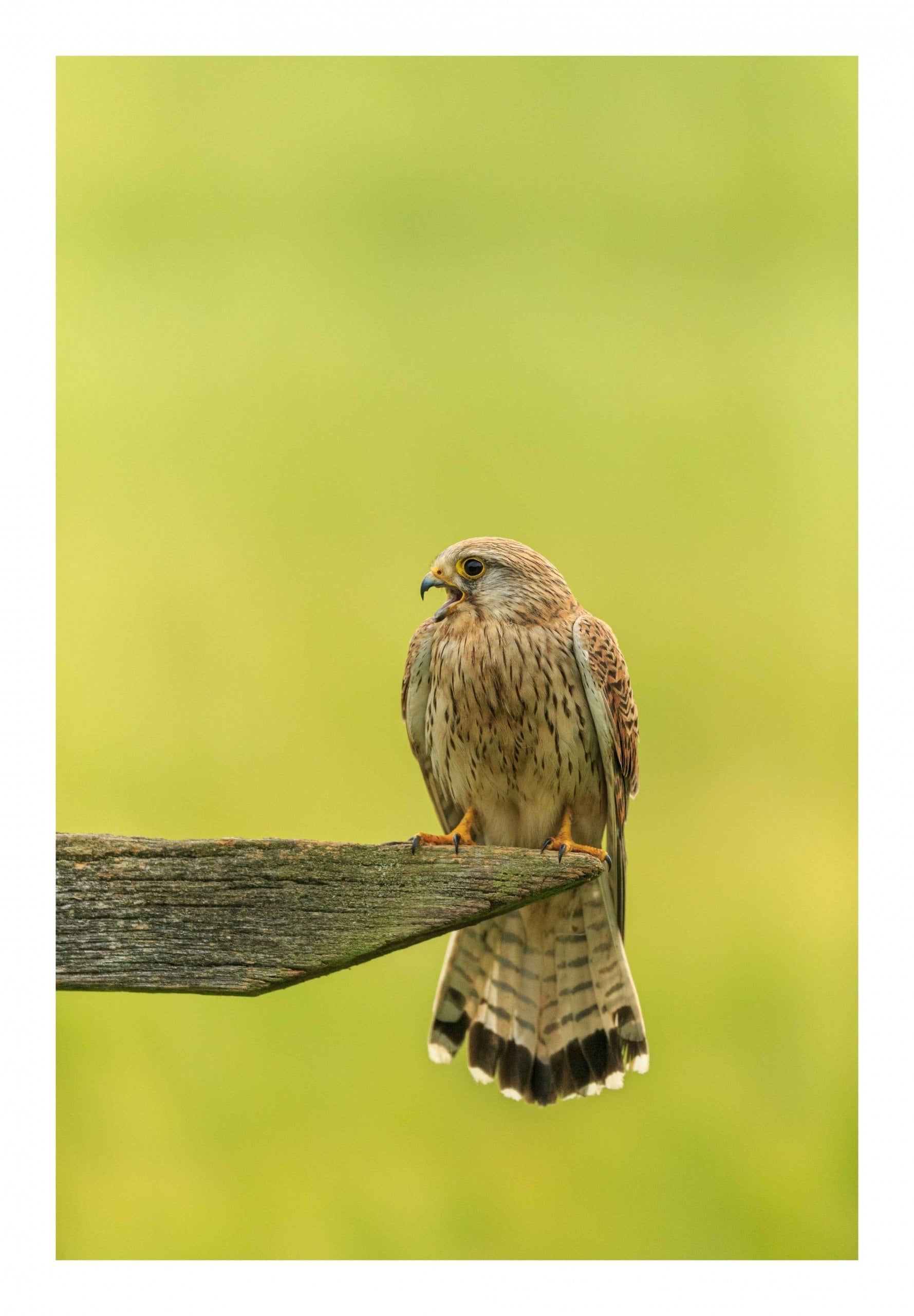 Kestrel smiling