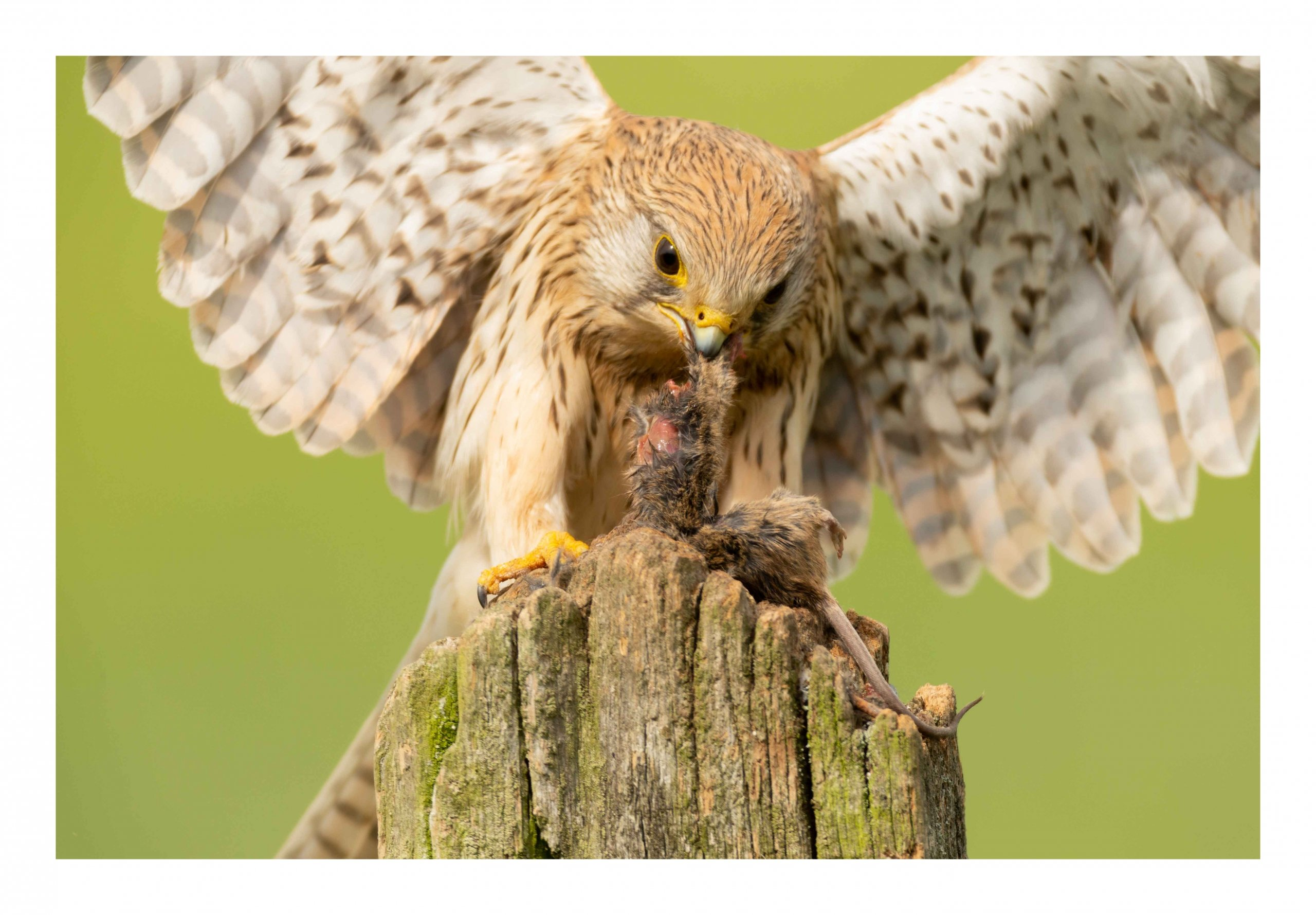 Close up of kestrel eating a mouse