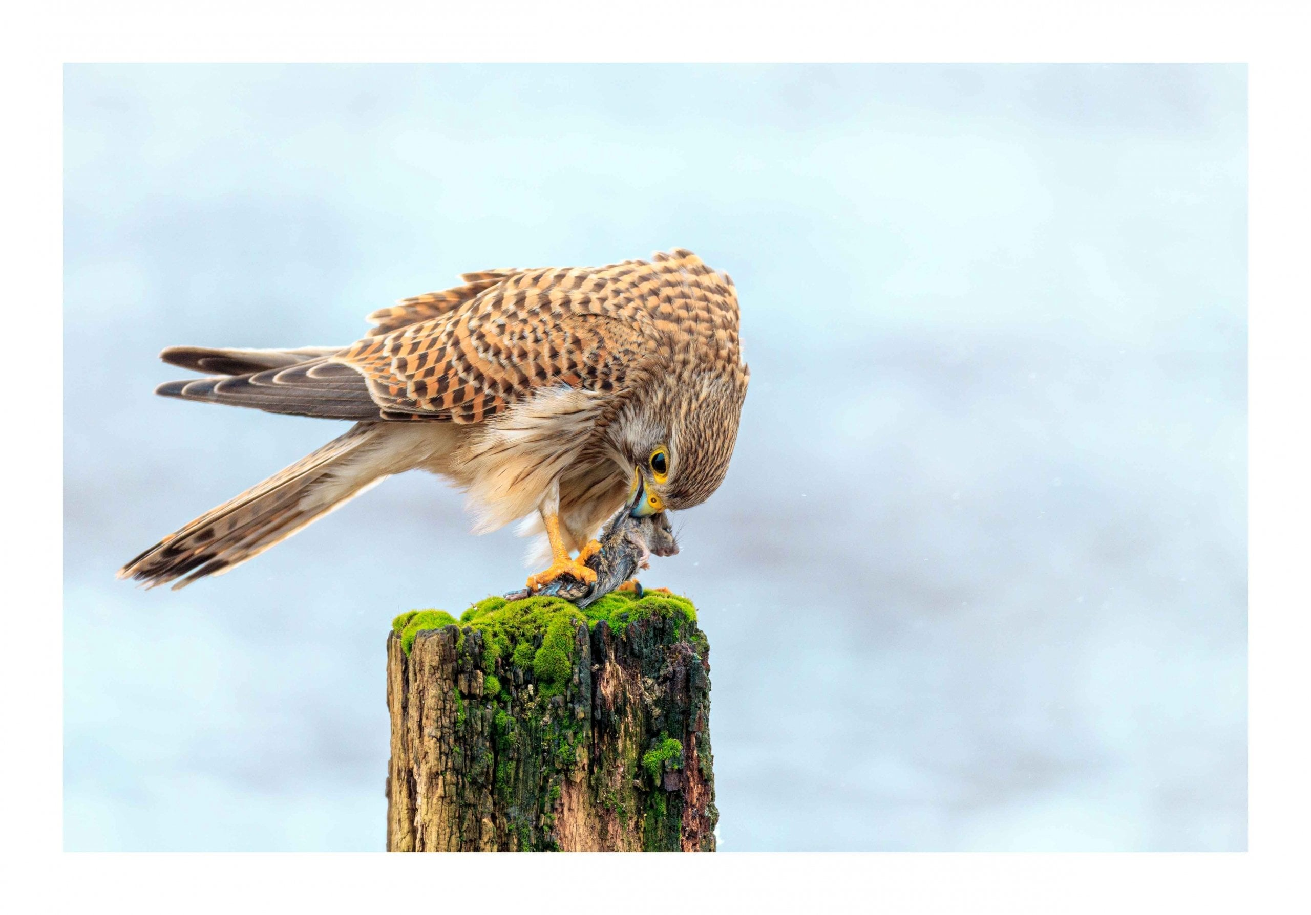 Kestrel eating Mouse