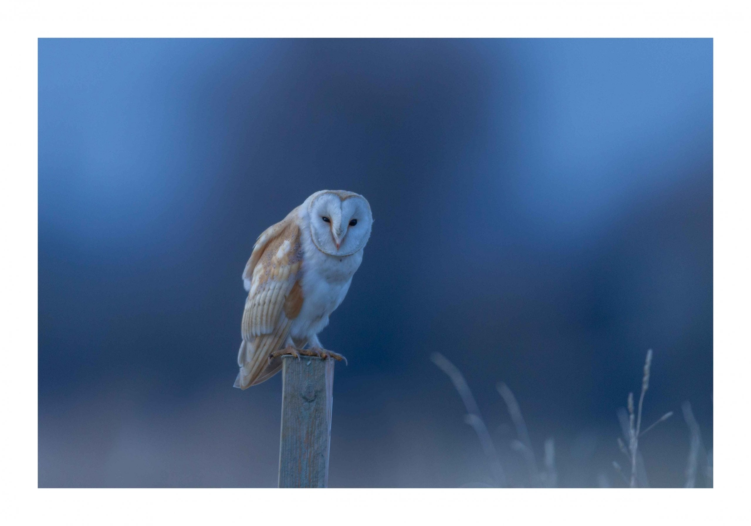 Blue hour barn owl