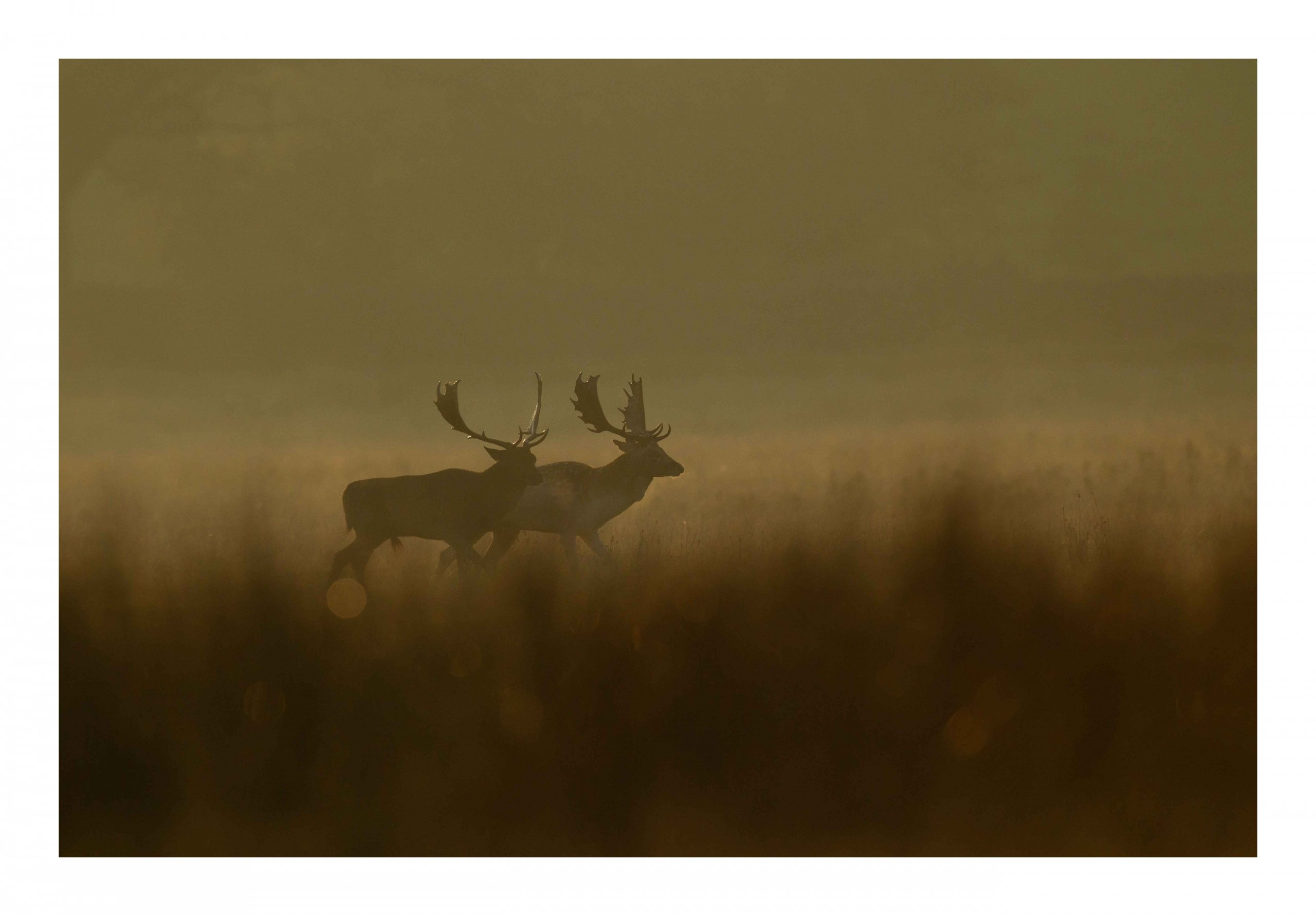 Parallel walking fallow deer at sunrise