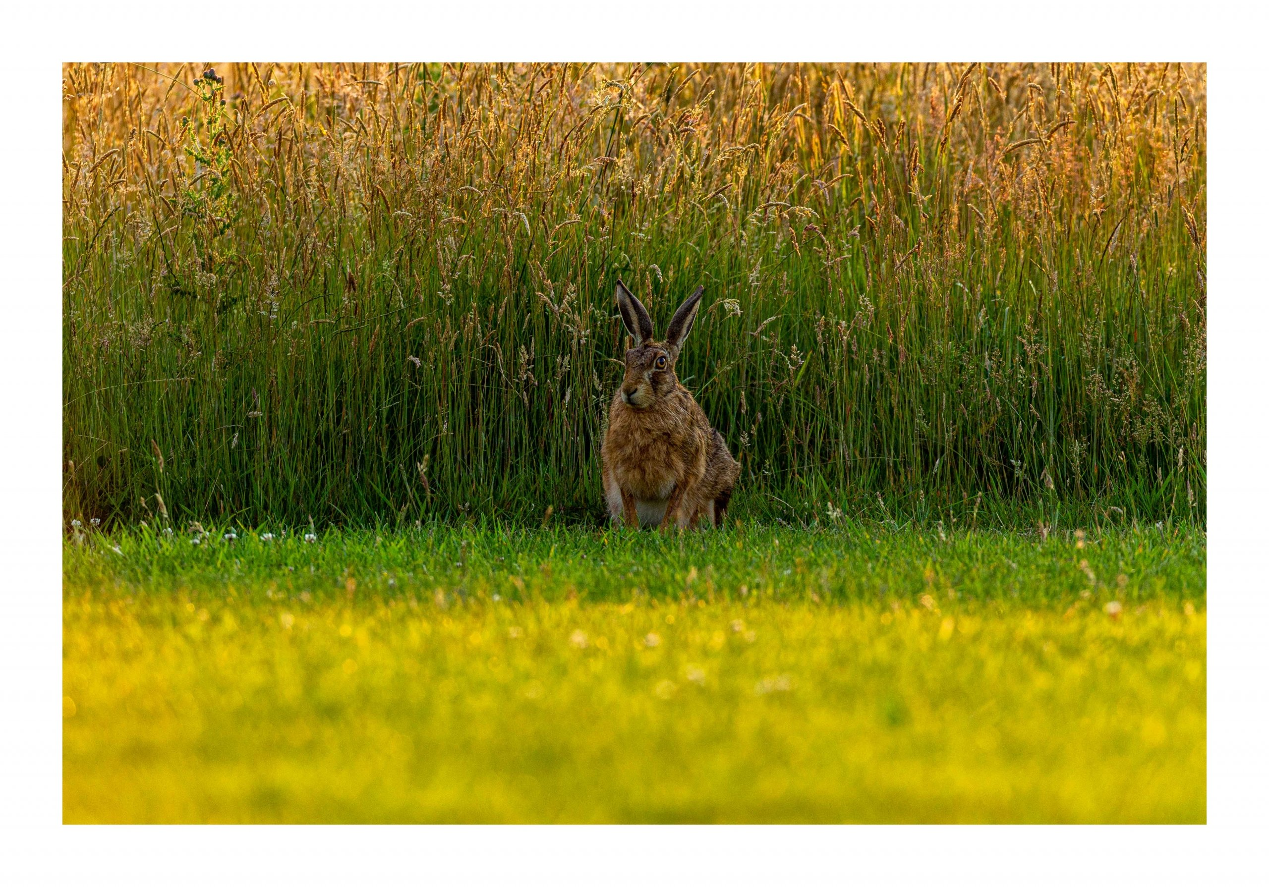 Brown Hare hiding in grass