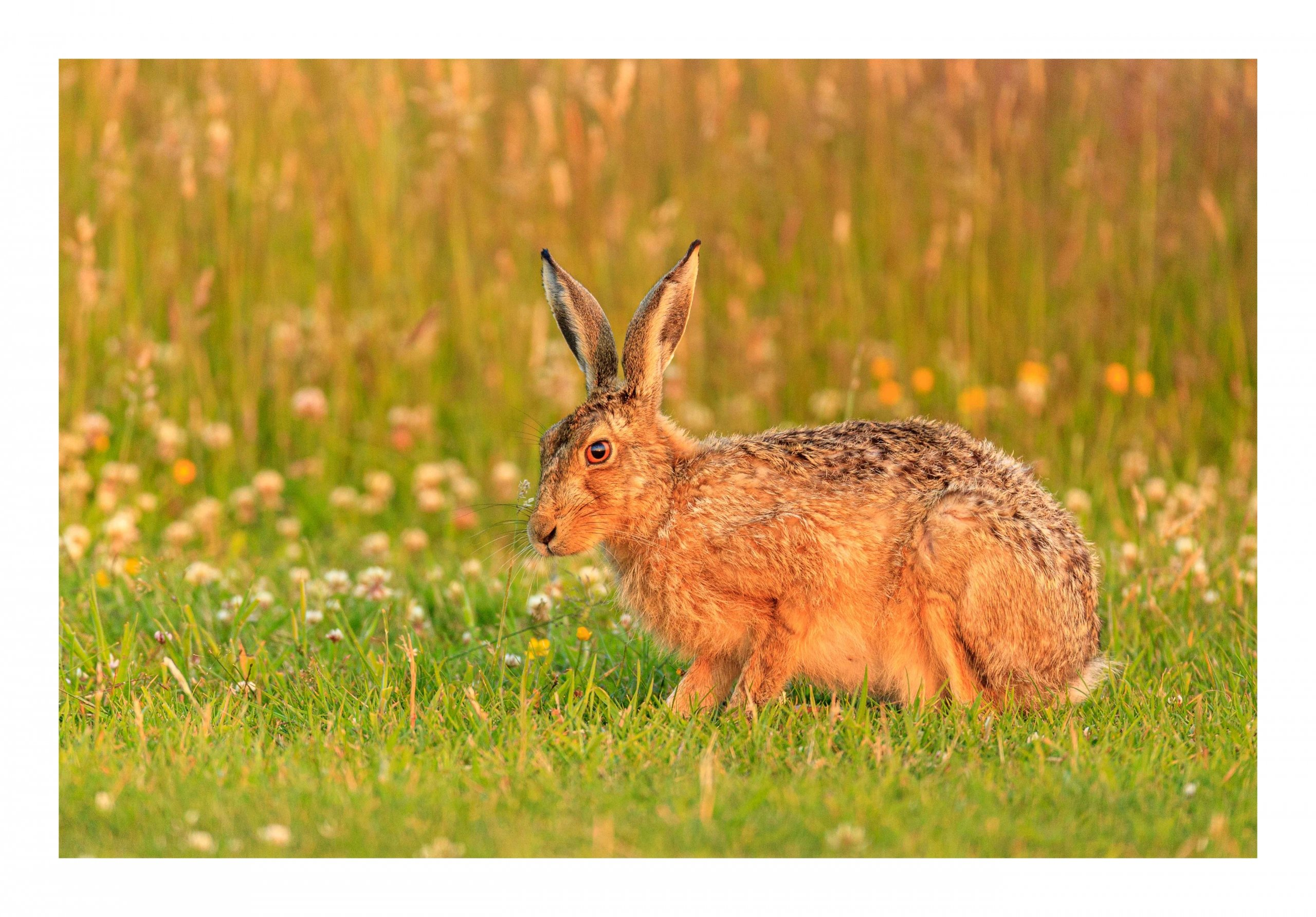 Sunset Brown Hare