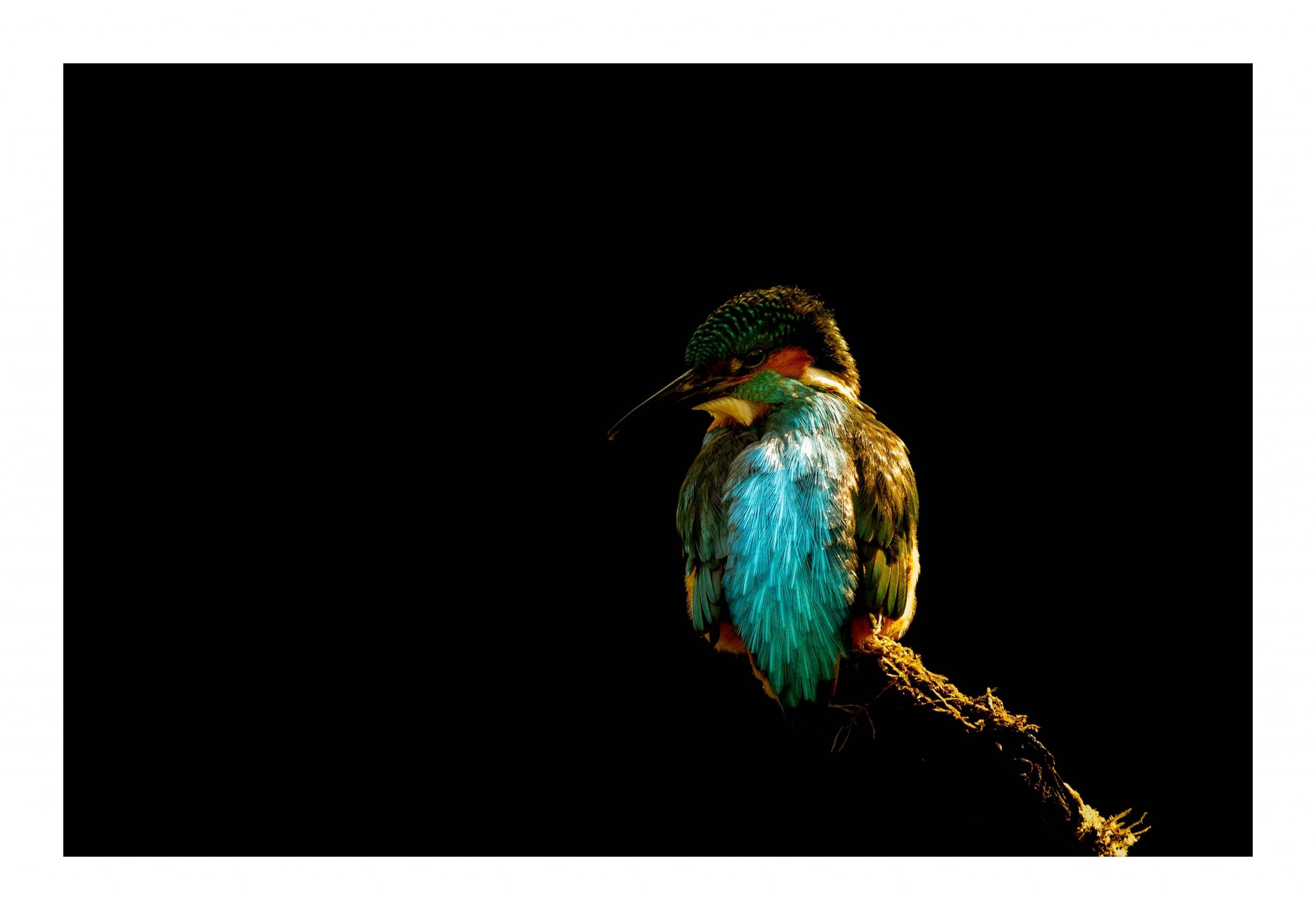 kingfisher on black