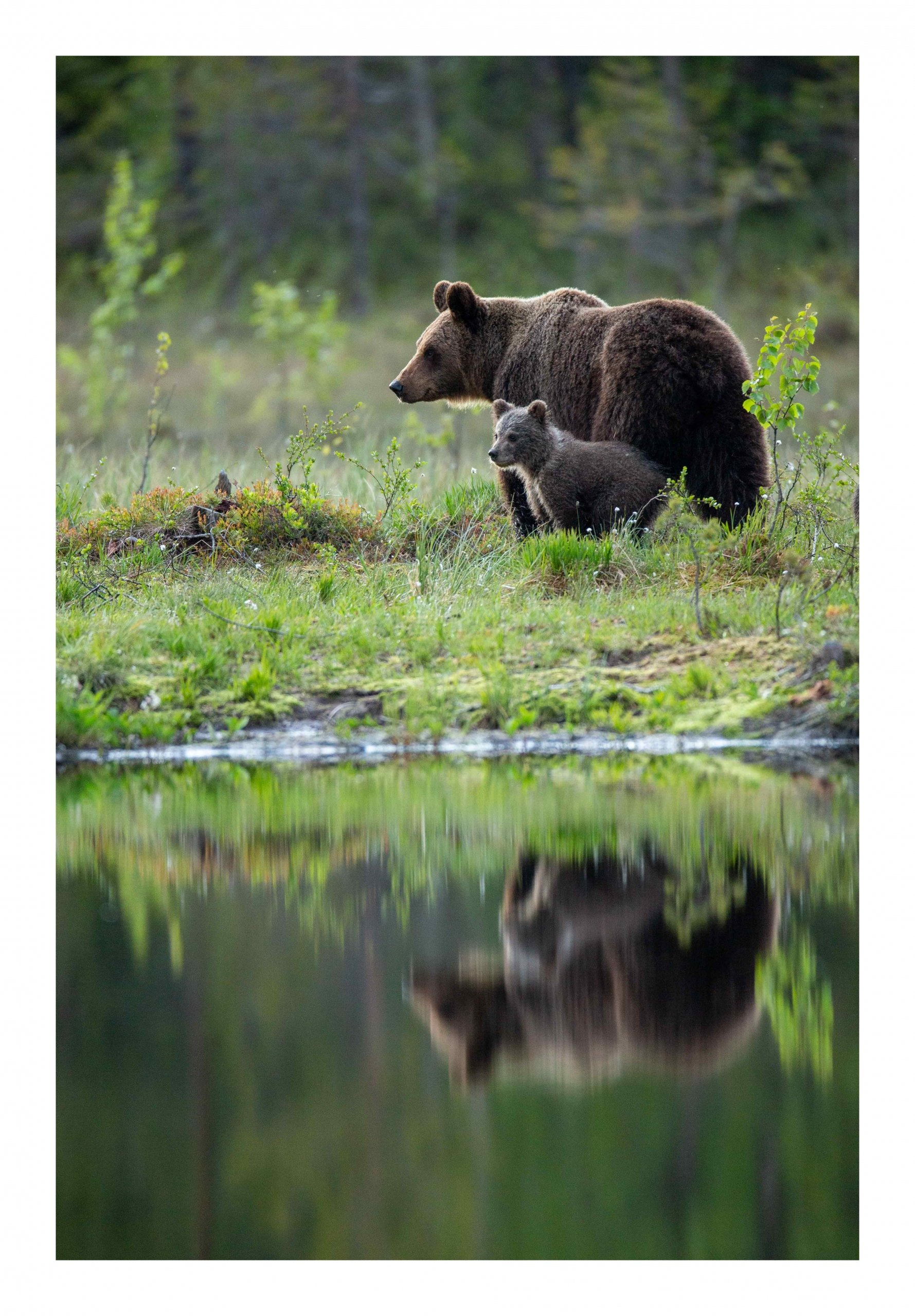 Mother and cub refection