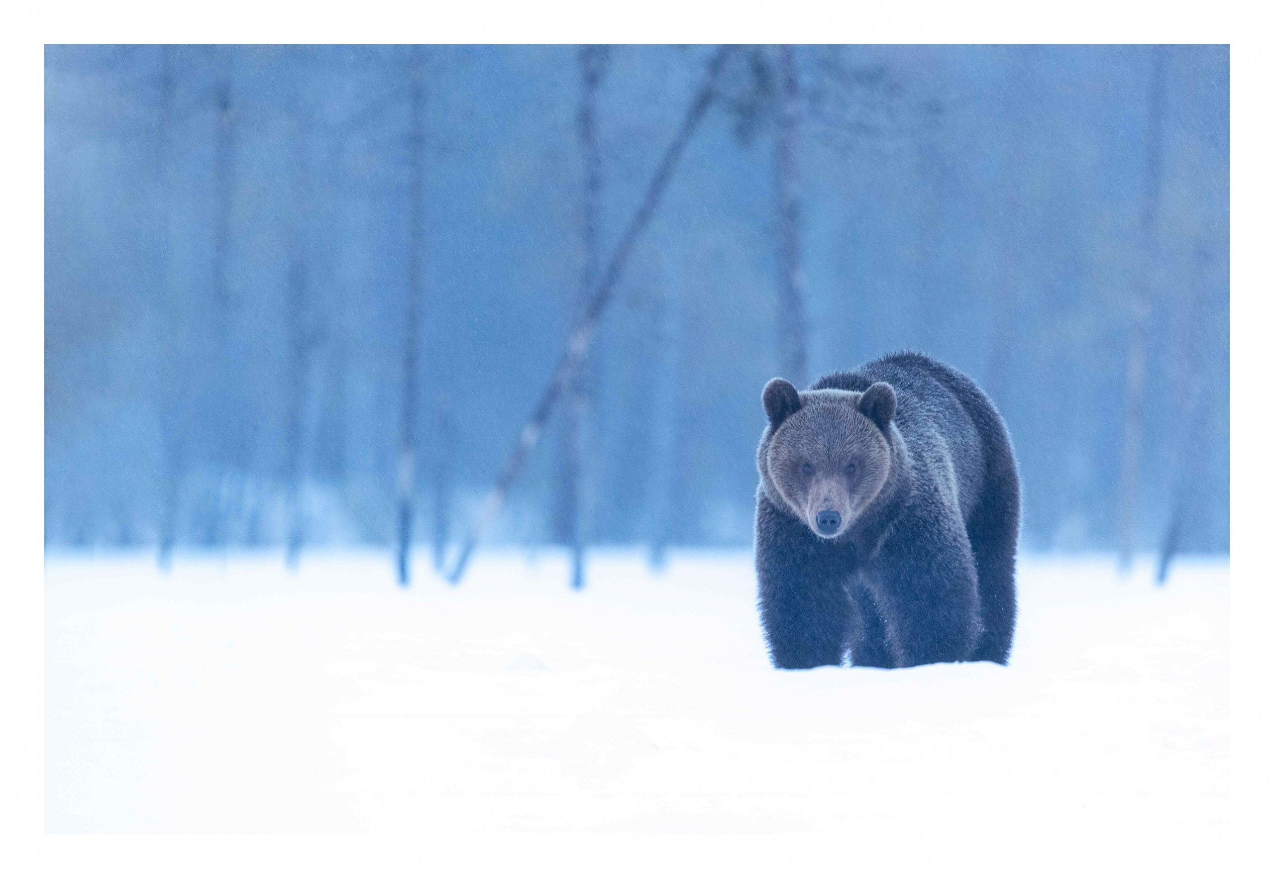 Brown bear male in snow