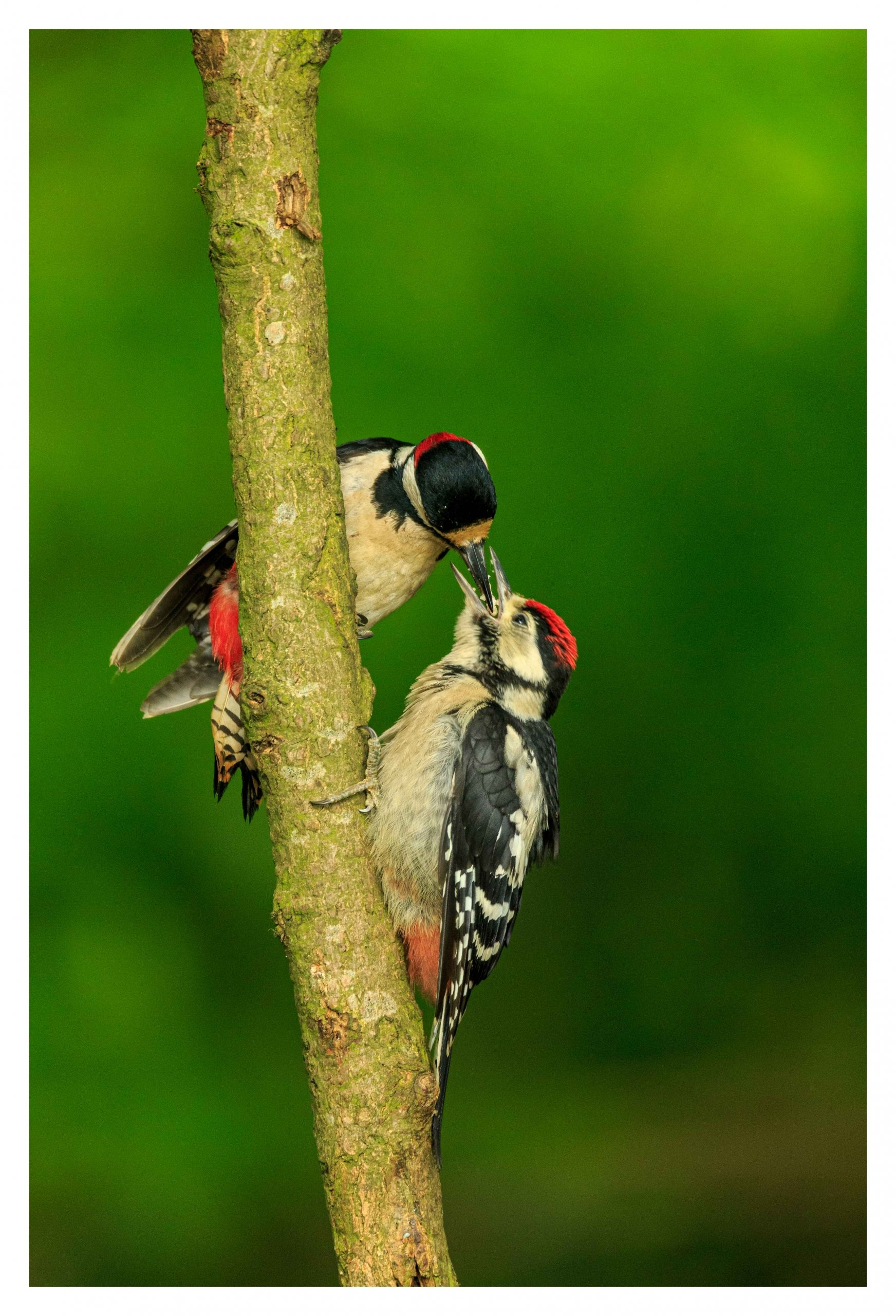 Feeding woodpecker