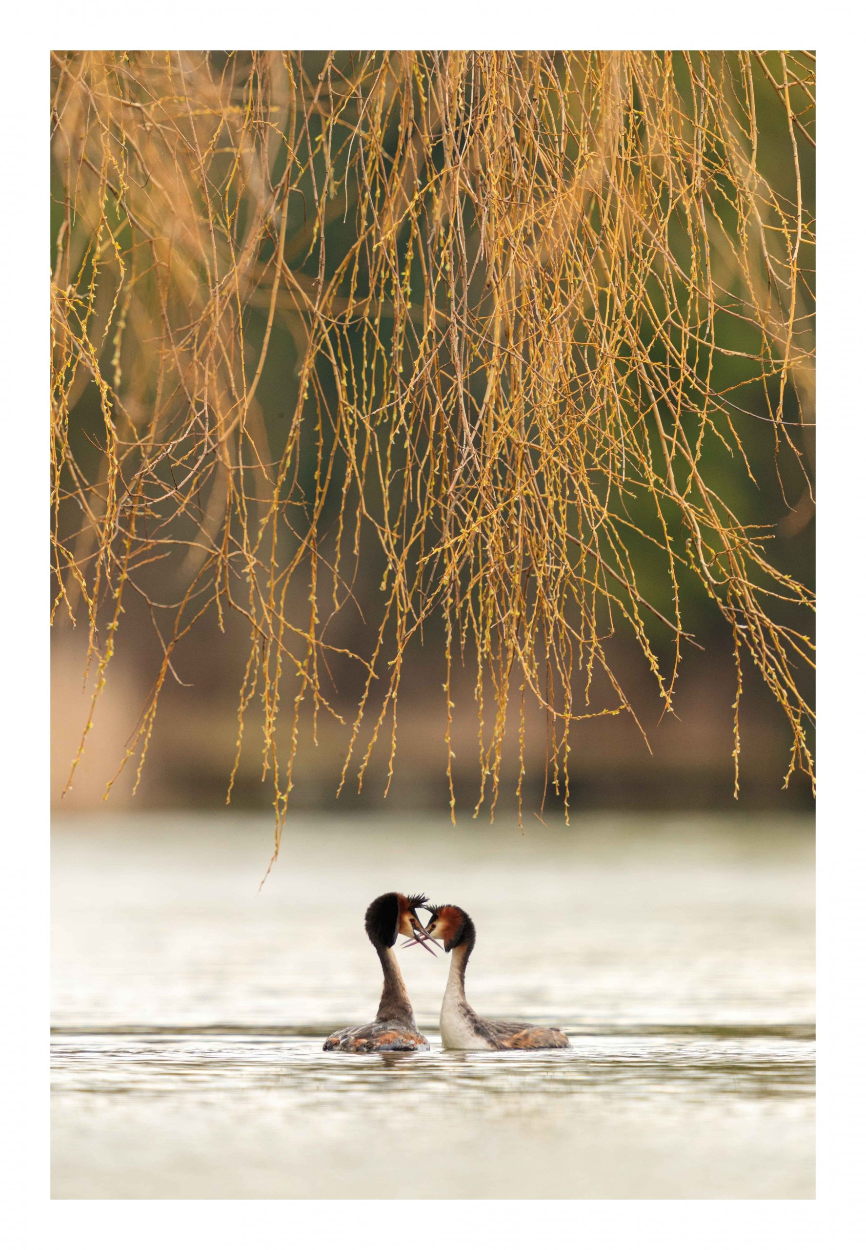 Willow courtship